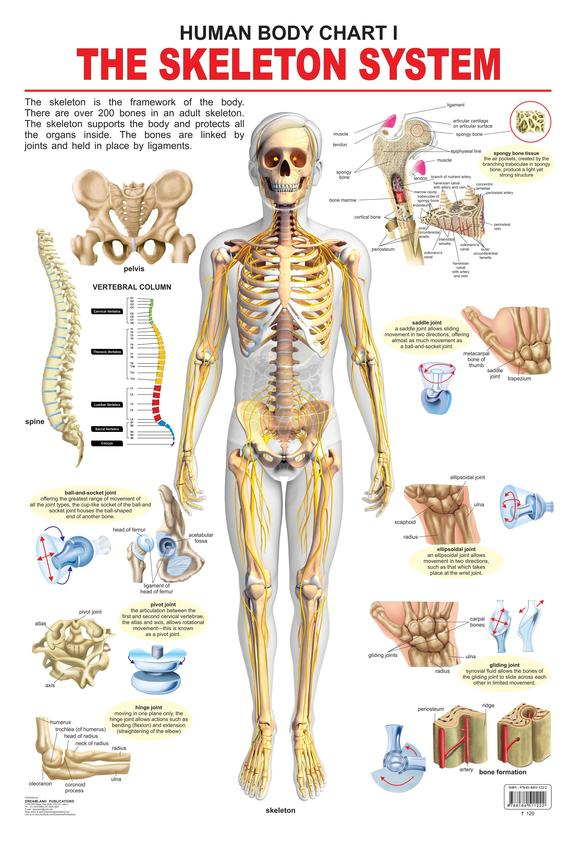 Human Body Chart 1 : The Skeleton System